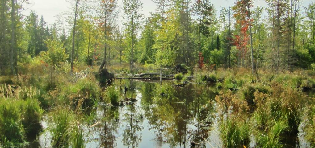 thicker coniferous wetland with calm water reflecting image of trees